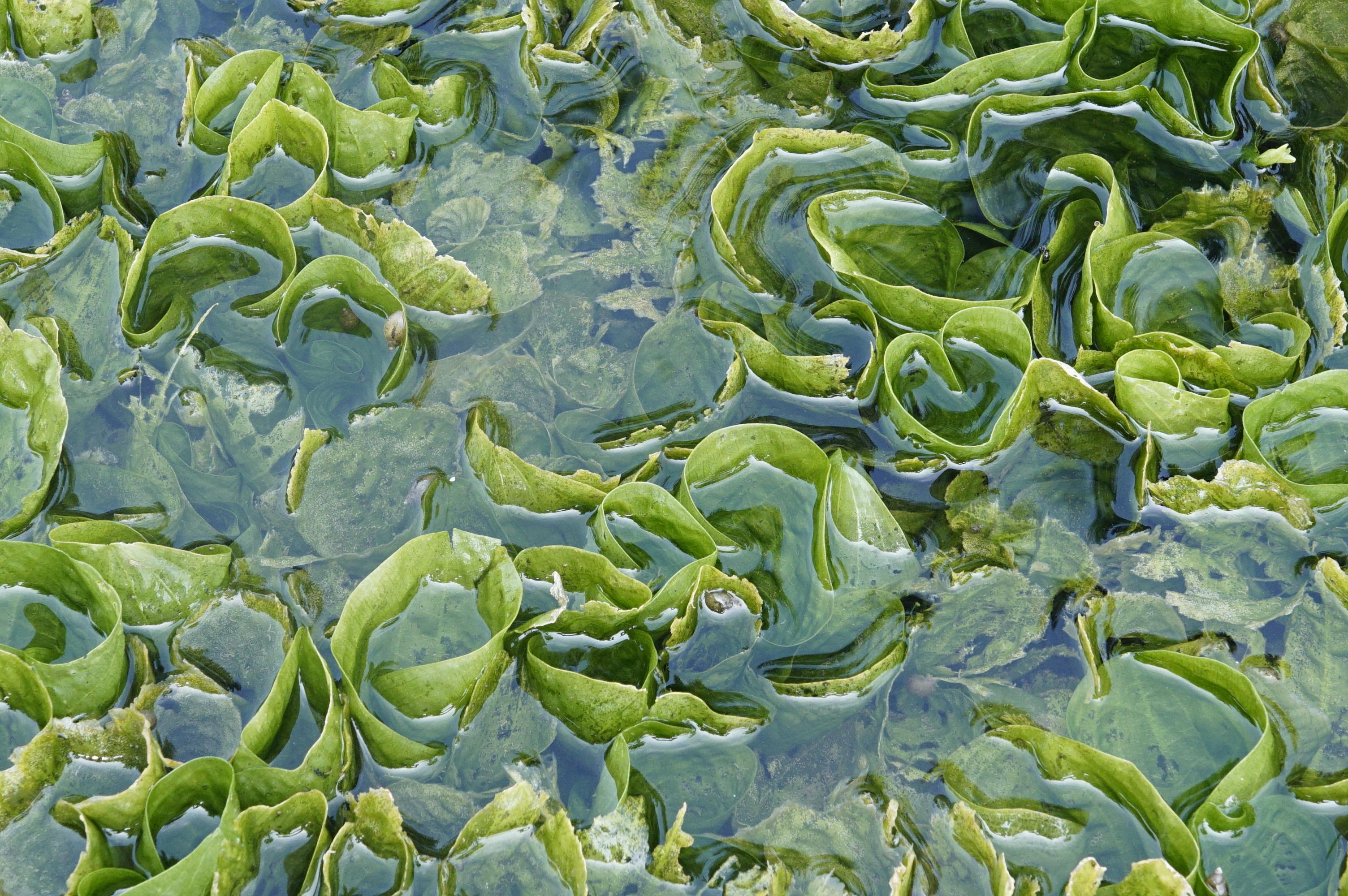 Image of Duck-Lettuce