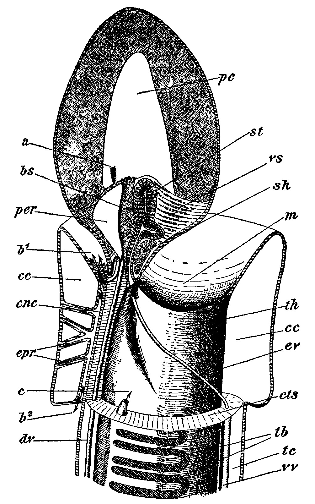 Image of Enteropneusta