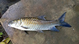 Image of Black Mahseer