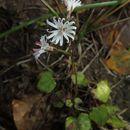 Image of <i>Ainsliaea apiculata</i> Sch. Bip.