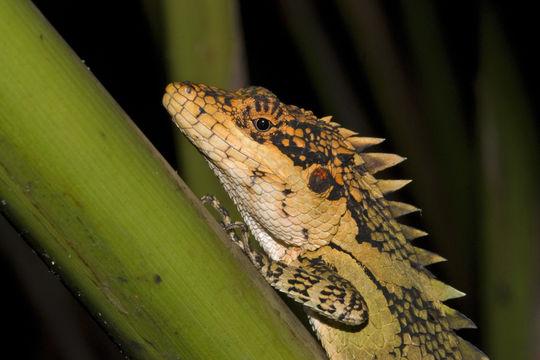 Image of Anaimalai Spiny Lizard