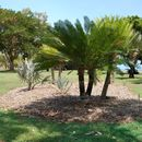 Image of <i>Cycas maconochiei</i> Chirgwin & K. D. Hill
