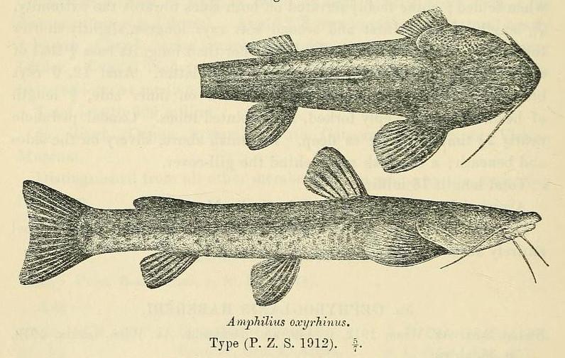 Image of Amphilius