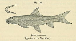 Image of African carp