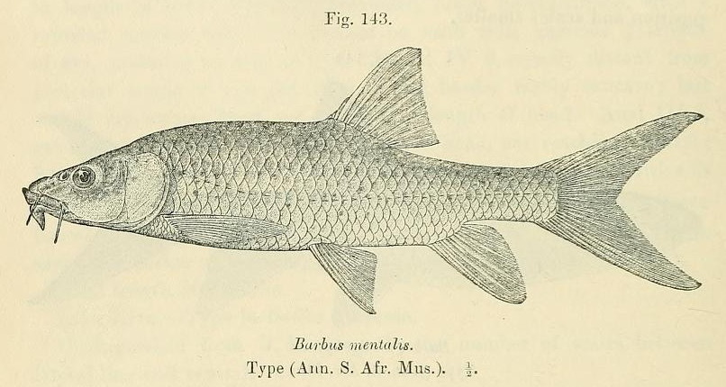 Image of Smallmouth yellowfish