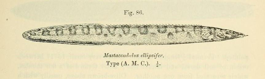 Image of <i>Mastacembelus ellipsifer</i> Boulenger 1899