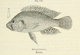 Image of Burton's mouth-brooder