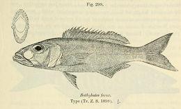 Image of <i>Bathybates ferox</i> Boulenger 1898