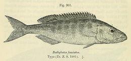 Image of <i>Bathybates fasciatus</i> Boulenger 1901