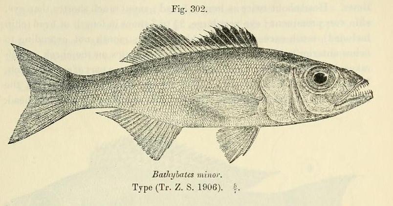 Image of Bathybates