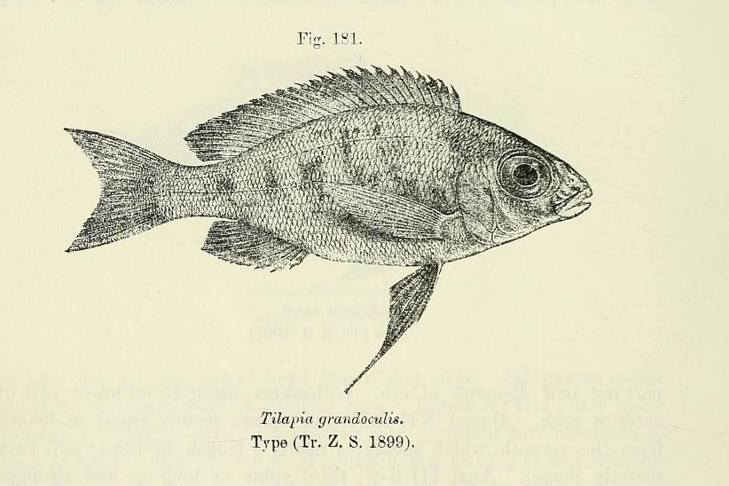Image of Featherfin Cichlid
