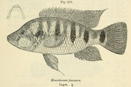 Image of Banded Jewelfish