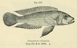 Image of <i>Lamprologus callipterus</i> Boulenger 1906