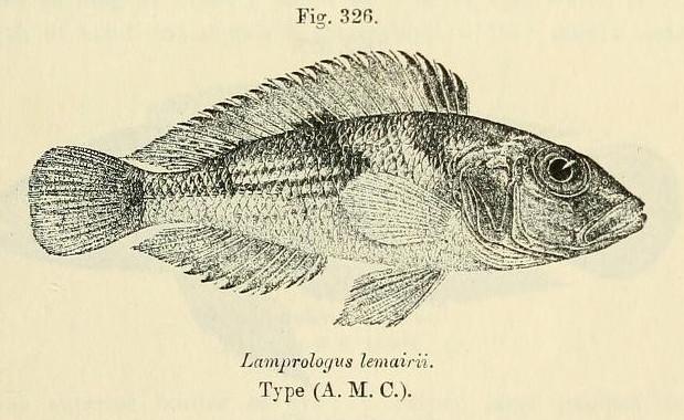 Image of <i>Lamprologus lemairii</i> Boulenger 1899