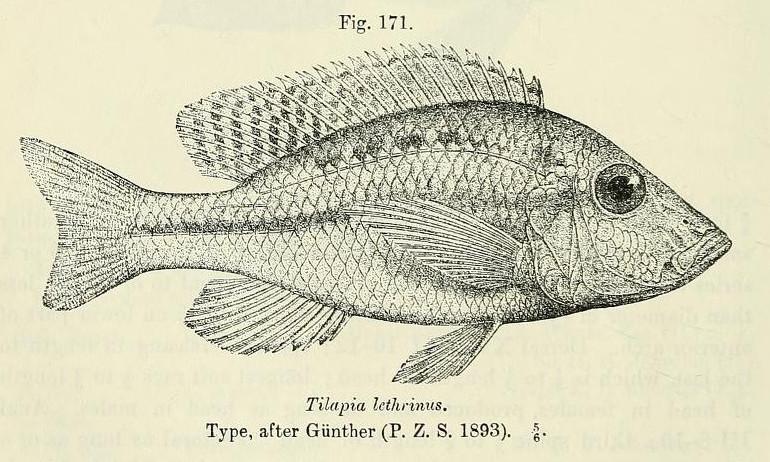 Image of <i>Lethrinops lethrinus</i> (Günther 1894)