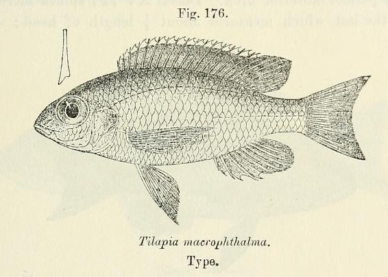 Image of Lethrinops