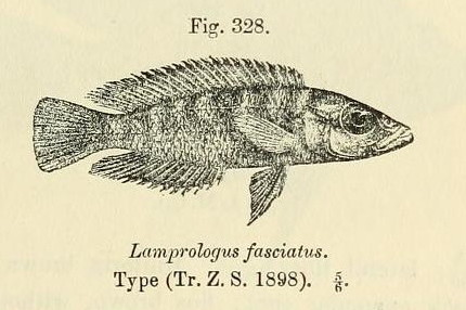 Image of <i>Neolamprologus fasciatus</i> (Boulenger 1898)