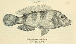 Image of <i>Neolamprologus tretocephalus</i> (Boulenger 1899)