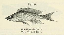 Image of <i>Paracyprichromis nigripinnis</i> (Boulenger 1901)