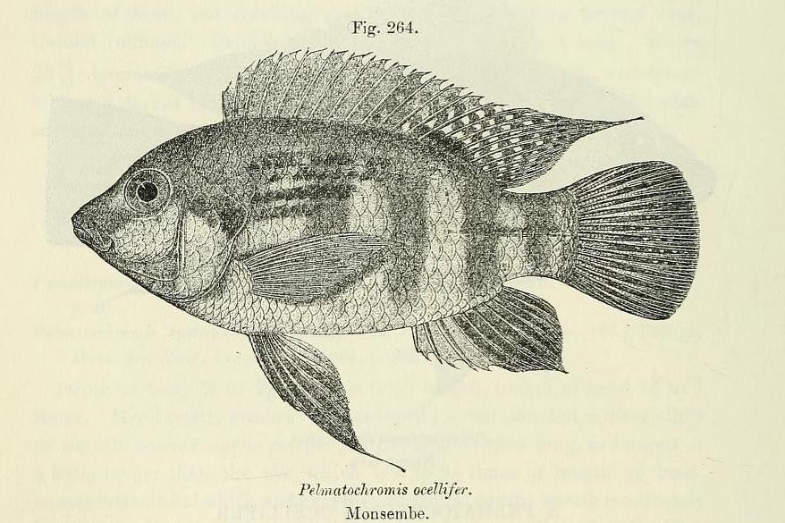 Image of Pelmatochromis