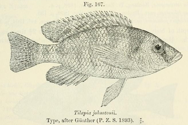 Image of <i>Placidochromis johnstoni</i> (Günther 1894)