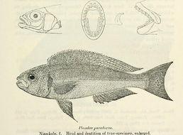 Image of Plecodus