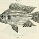 Image of <i>Pterochromis congicus</i> (Boulenger 1897)
