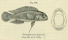 Image of Telmatochromis