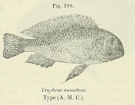 Image of <i>Tropheus annectens</i> Boulenger 1900