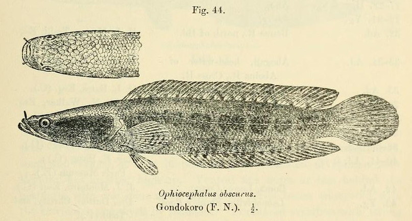 Image of Snake-head