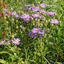 Image of eastern showy aster