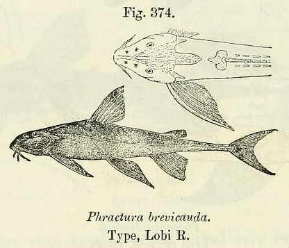 Image of Phractura