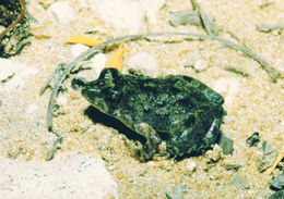Image of Mababe river frog