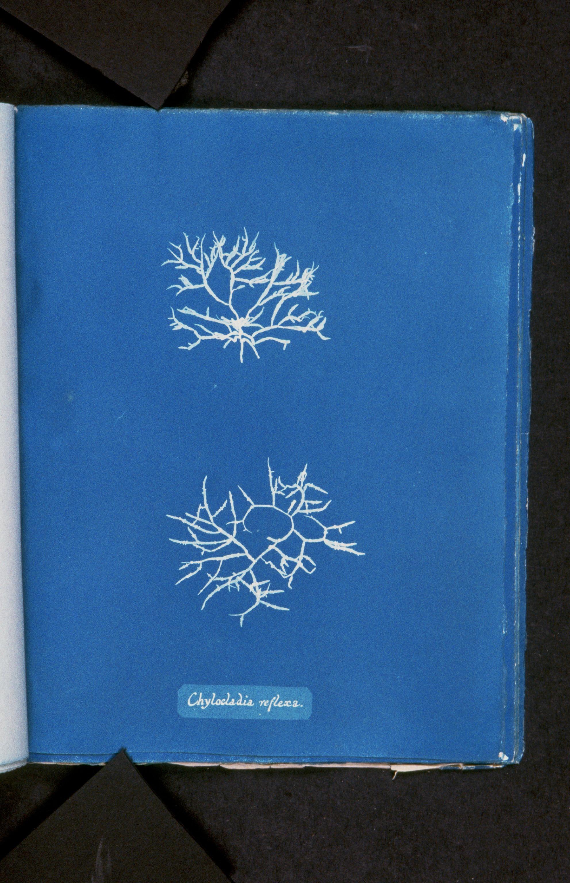 Image of <i>Gastroclonium reflexum</i>