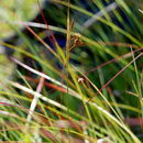 Image of boreal bog sedge