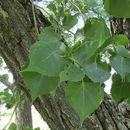 Image of narrowleaf cottonwood