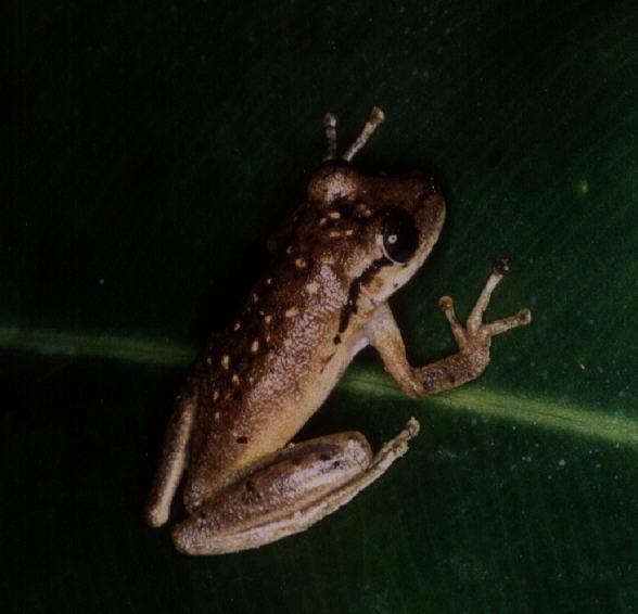 Image of Boeseman's Snouted Treefrog