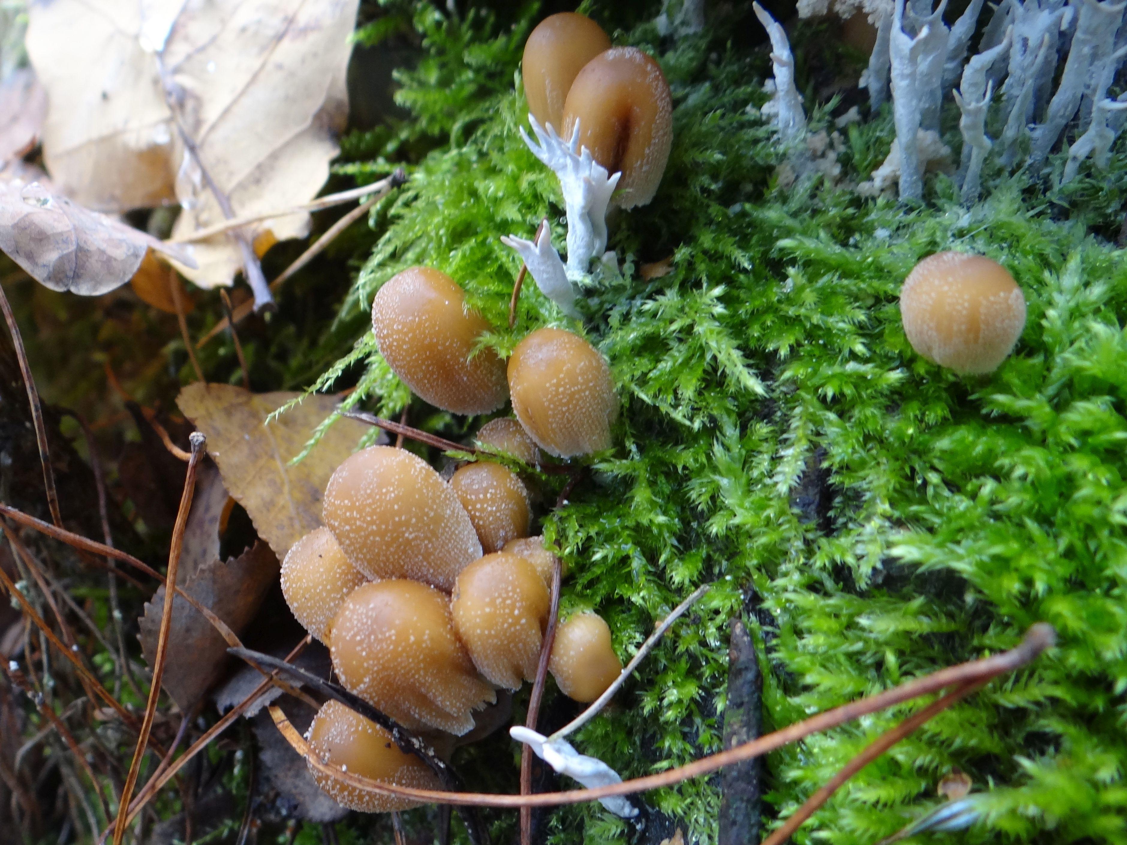 Image of <i>Coprinellus truncorum</i> (Scop.) Redhead, Vilgalys & Moncalvo 2001