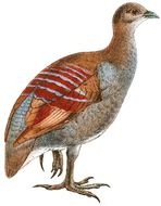 Image of Moluccan Megapode