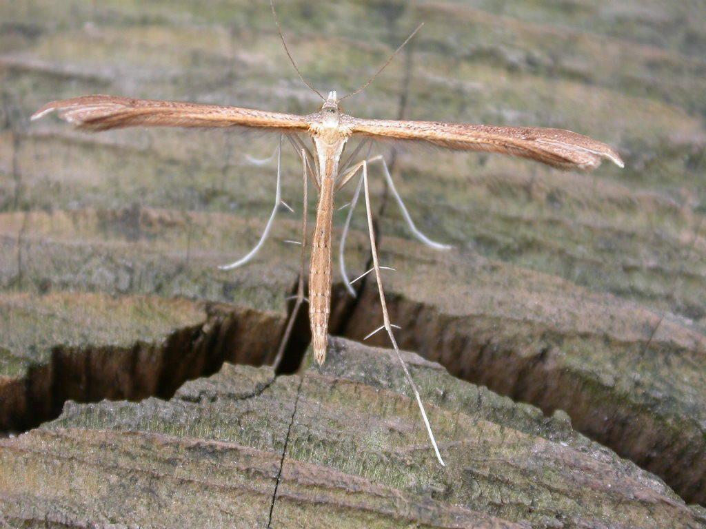 Image of <i>Stenoptilia bipunctidactyla</i> (Scopoli 1763)