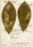 Image of <i>Tischeria ekebladella</i> Bjerkander 1795