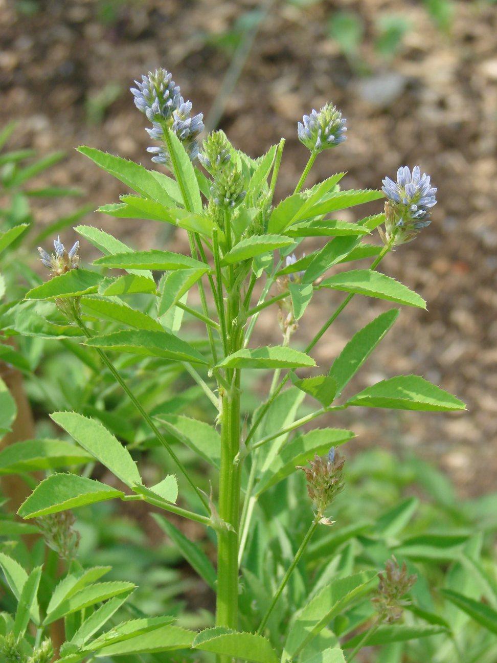 Image of blue fenugreek