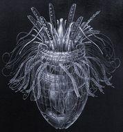 Image of <i>Pliciloricus enigmaticus</i> Higgins & Kristensen 1986