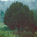 Image of African Juniper