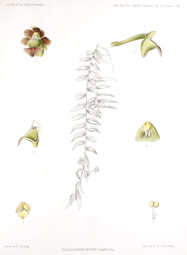 Image of <i>Gastrochilus affinis</i> (King & Pantl.) Schltr.