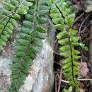 Image of <i>Asplenium trichomanes</i> ssp. <i>coriaceifolium</i>