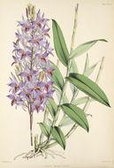 Image of <i>Barkeria skinneri</i> (Bateman ex Lindl.) Paxton