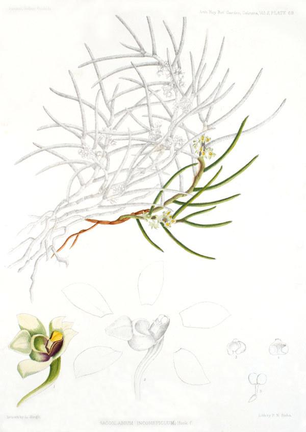 Image of <i>Gastrochilus inconspicuus</i> (Hook. fil.) Kuntze