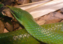 Image of Rhino Rat Snake
