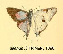 Image of <i>Iolaus alienus</i> Trimen 1898